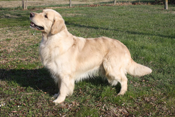 Kennel Del Ronco Golden Retriever Cucciolate